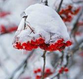 Bacche della neve fotografia stock libera da diritti