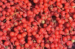 Bacche della pianta dell'Estremo-Oriente Schisandra 23 chinensis Fotografia Stock