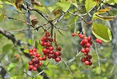Bacche della pianta dell'Estremo-Oriente Schisandra 12 chinensis Fotografia Stock