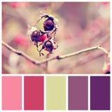 Bacche della rosa canina con i campioni gratuiti di colore Fotografia Stock Libera da Diritti