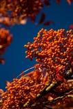 Bacche di autunno Immagine Stock