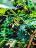 Bacche di Blackberry nel giardino fotografie stock