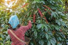Bacche di caffè Arabica di raccolto della collina degli agricoltori Immagine Stock