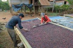 Bacche di caffè rosse di secchezza Fotografia Stock Libera da Diritti