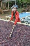 Bacche di caffè rosse di secchezza Fotografia Stock