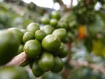 Bacche di caffè verdi Immagini Stock Libere da Diritti