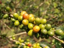Bacche di caffè sulla filiale del cespuglio Immagini Stock Libere da Diritti