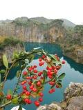bacche di colore rosso dello Mare-spincervino Fotografia Stock