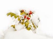 Bacche di colore rosso di Dogrose Fotografie Stock Libere da Diritti