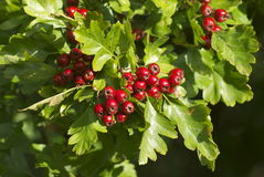 Bacche di Hawthorne in una siepe di arbusti inglese Immagini Stock