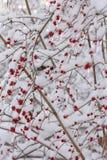 Bacche di inverno Immagini Stock Libere da Diritti
