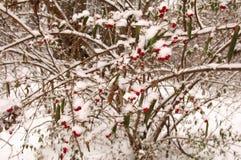Bacche di inverno Fotografia Stock Libera da Diritti