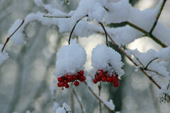 Bacche di inverno Fotografie Stock