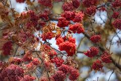 Bacche di inverno lasciate fino alla primavera Fotografia Stock