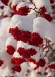 Bacche di natale in neve fotografia stock