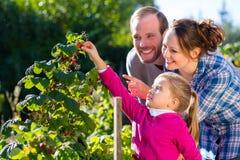 Bacche di raccolto della famiglia in giardino fotografie stock libere da diritti