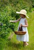 Bacche di raccolto su un'azienda agricola del Michigan Immagini Stock Libere da Diritti
