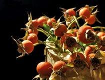 Bacche di rosa selvatiche Fotografia Stock Libera da Diritti