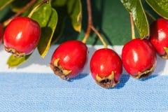 Bacche di rosso del crataegus Immagini Stock