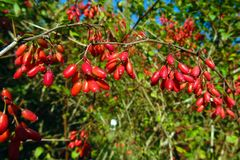 Bacche di rosso del crespino Bacche rosse del crespino su un cespuglio in primavera o l'estate Bacche mature fresche con fondo ve immagine stock