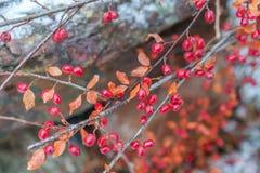 Bacche di rosso del crespino Crespino rosso sul ramo Crespino rosso b immagini stock