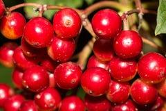 Bacche di rosso di estate Immagini Stock