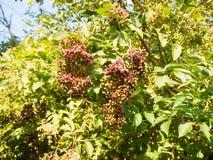 Bacche di sambuco rosse e nere che crescono nell'albero qui sopra nel riassunto immagine stock libera da diritti