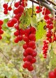 Bacche di Schisandra chinensis Immagine Stock