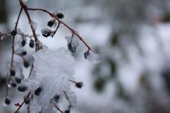 Bacche di Snowy Immagine Stock Libera da Diritti