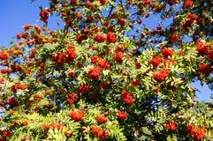 Bacche di sorbo con cielo blu Fotografie Stock