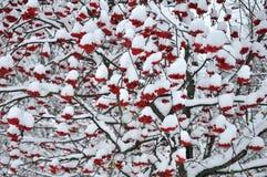 Bacche di sorbo nella neve Immagini Stock Libere da Diritti