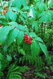 Bacche di sorbo rosse Albero del Sorbus Fotografie Stock Libere da Diritti