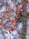 Bacche di sorbo rosse luminose congelate sui rami macro con il fondo del bokeh contro cielo blu, fuoco selettivo, DOF basso Immagine Stock