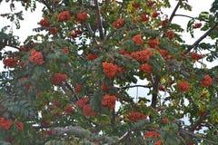 bacche di sorbo rosso-arancio immagine stock libera da diritti
