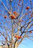 Bacche di sorbo secche sul ramo in autunno tardo fotografie stock
