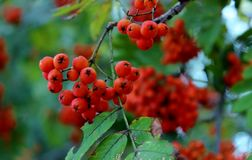 Bacche di sorbo, sorba rossa, il raccolto delle bacche di sorbo, bacche per gli uccelli Immagini Stock Libere da Diritti