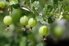 Bacche di un'uva spina. Immagine Stock Libera da Diritti