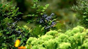 Bacche dolci blu video d archivio
