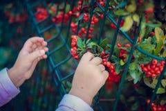 Bacche e bambino rossi Immagini Stock Libere da Diritti