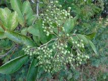 Bacche e foglie di luccichio in parco di Hertfordshire Immagini Stock Libere da Diritti