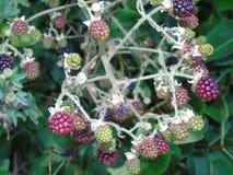 Bacche e foglie di luccichio in parco di Hertfordshire Fotografia Stock