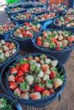 Bacche e fragola mature del fogliame Fragole su una pianta di fragola su una piantagione della fragola Fotografia Stock Libera da Diritti