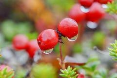Bacche e goccia di acqua rosse Immagini Stock