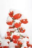 Bacche e neve Immagine Stock Libera da Diritti
