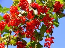 Bacche, fogli di verde e cielo blu rossi Fotografia Stock Libera da Diritti