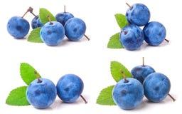Bacche fresche del prugnolo con le foglie isolate su fondo bianco Insieme o raccolta Fotografia Stock