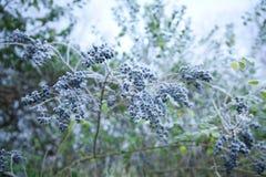 Bacche gelide sulla pianta Fotografie Stock