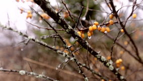 Bacche gialle di autunno stock footage