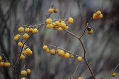 Bacche gialle nell'inverno Fotografie Stock Libere da Diritti