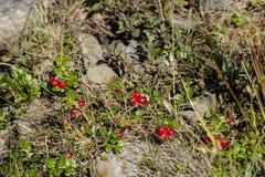 Bacche maturate del lingonberry carpatico Fotografia Stock